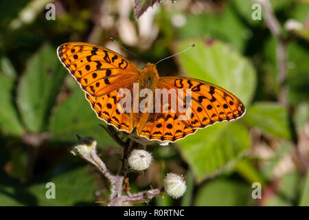 High Brown Fritillary, Argynnis adippe, male feeding on bramble - Stock Photo