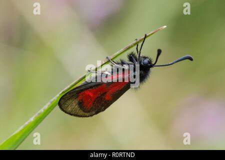 Transparent Burnet moth, Zygaena purpuralis - Stock Photo