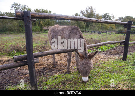 A little brown donkey is eating grass. - Stock Photo