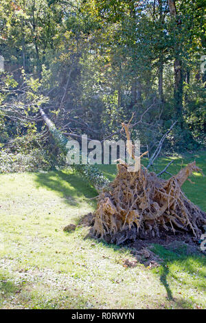 A pine tree knocked over by a windstorm lies on the grass with its root ball exposed - Stock Photo