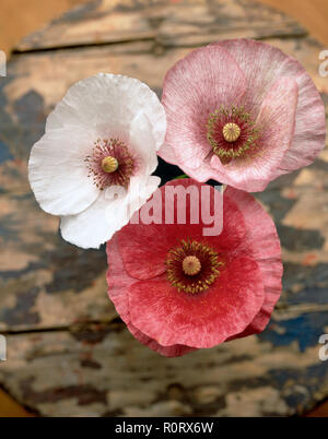 Three Fairy Wings Poppies in sudio shot from above. - Stock Photo