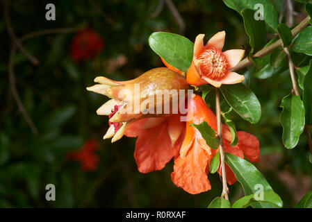 Flowering and fruit set of young Pomeganate tree. - Stock Photo