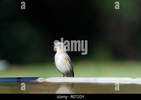 One female Yellow-rumped Warbler perched on a bird bath - Stock Photo