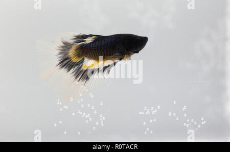 Beautiful black betta fish in aquarium close up - Stock Photo