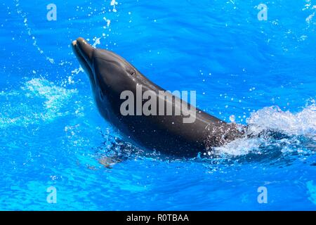 Portrait of a dolphin swimming in the water - Stock Photo