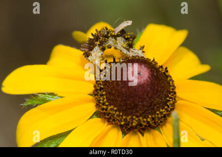 Geometrid Moth, Synchlora sp., larva camouflaged with flower debris, on black-eyed Susan, Rudbeckia hirta - Stock Photo