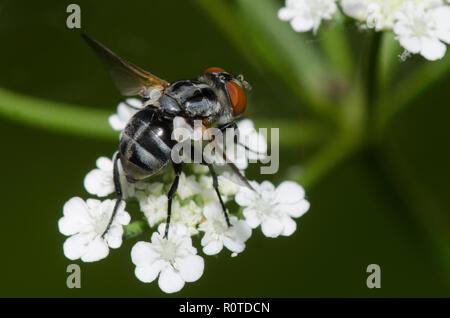 Tachinid fly, Gymnoclytia occidua, female - Stock Photo