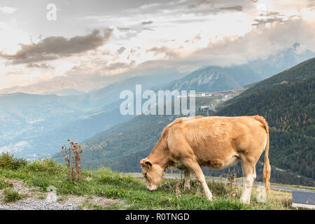 cow grazing in the pasture near ski resort on a summer day - Stock Photo