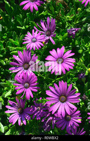 Close up of a flower border with colouful flowering Osteospermum African Daisy - Stock Photo