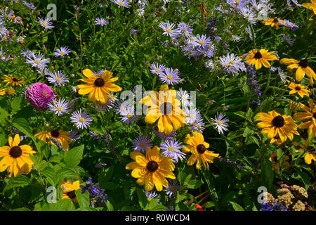 Flower border with Rudbeckia hirta Black Eyed Susan and Aster amellus in a country garden - Stock Photo
