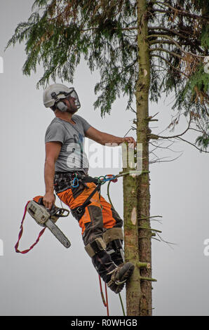 Tree surgeon climbing and cutting down a tree - Stock Photo
