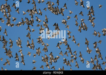 Flock of Starling, Sturnus vulgaris, in flight, Lancashire, UK - Stock Photo