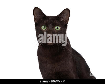 Head shot of young adult Havana Brown cat kitten, sitting and looking with green eyed sweet face to camera. Isolated on a white background. - Stock Photo