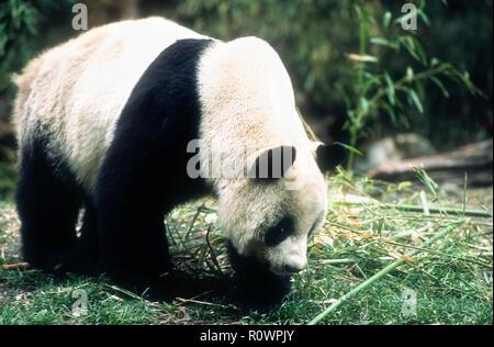 Asia; China; Wolong; Sichuan Province; Wolong China Panda Reserve; Wildlife; Mammals; Bears; Giant Panda; Endangered Species; Eating bamboo. - Stock Photo