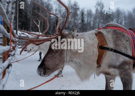 Reindeers ready to ride on a farm in Finland - Stock Photo