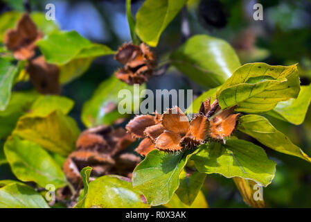 European beech / common beech (Fagus sylvatica) close up of leaves and open cupules in early autumn - Stock Photo