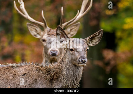 Red deer (Cervus elaphus) female / hind and stag / male in autumn forest in the Ardennes during the hunting season - Stock Photo