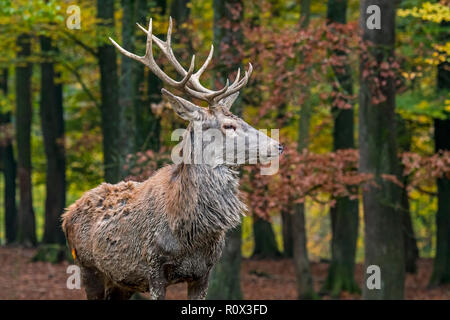 Young red deer (Cervus elaphus) stag / male in autumn forest in the Ardennes during the hunting season - Stock Photo