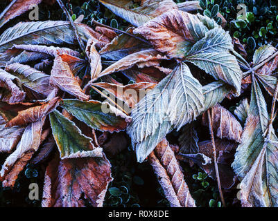 Horse Chestnut ( Aesculus hippocastanum) leaves after frost. - Stock Photo