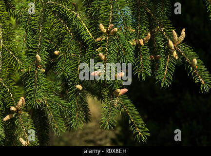Norway Spruce (Picea abies) in early spring.The male flowers are yellow,the female flowers are pink. - Stock Photo
