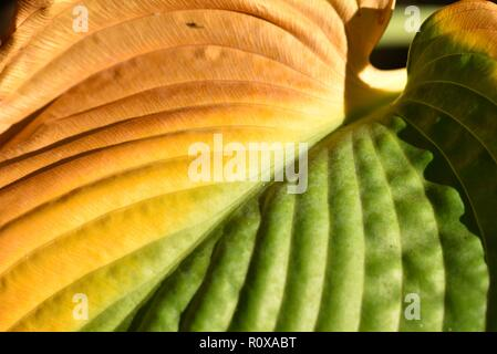 Hosta (Funkia): a close up of an individual leaf on the cusp of autumn - Stock Photo