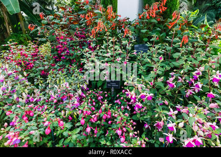 England, Surrey, Guildford, Wisley, The Royal Horticultural Society Garden, Fuchsia - Stock Photo
