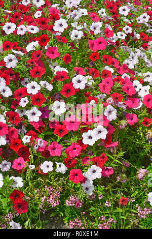 Close up of a flower border with colouful flowering Petunias in assorted colours - Stock Photo
