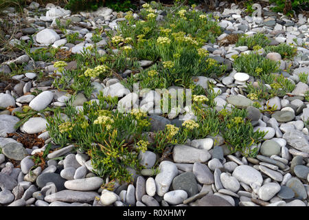 Crithmum maritimum (rock samphire) is an edible member of the flowering plant family Apiaceae. It is here growing on coastal shingle in North Wales. - Stock Photo