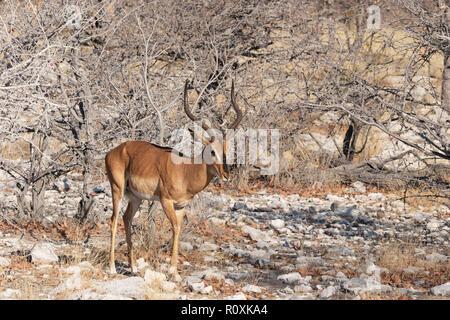 Black Faced Impala ( Aepyceros melampus petersi ), One adult male, side view, Etosha national park, Namibia Africa - Stock Photo