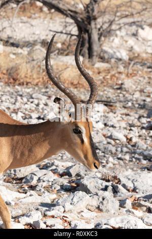 Black Faced Impala ( Aepyceros melampus petersi ), One adult male, Etosha national park, Namibia Africa - Stock Photo