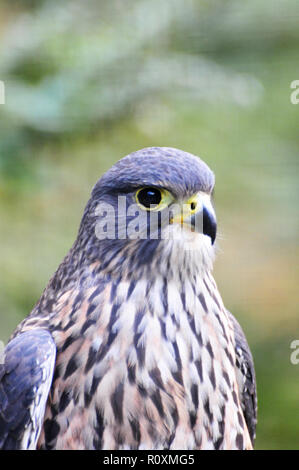 New Zealand Falcon , Kiwi Birdlife Park, Queenstown - Stock Photo