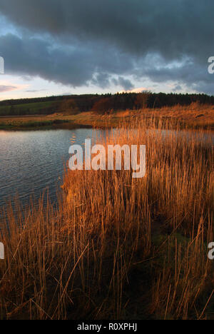 Reeds and reed beds on the banks of the tidal River Dee at Kirkcudbright, Dumfries and Galloway SW Scotland - Stock Photo