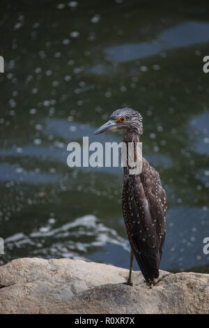Immature Yellow-crowned Night Heron (Nyctanassa violacea), also called the American Night Heron or Squawk. - Stock Photo