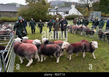 Judging Herdwick sheep, Walna Scar Shepherds Meet, Broughton Mills, Cumbria, November 2018. A traditional annual Lake District sheep show. - Stock Photo