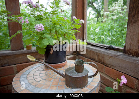 Scented Geranium in pot on table - Stock Photo