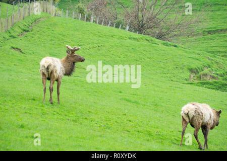 Deer farming in New Zealand - Stock Photo