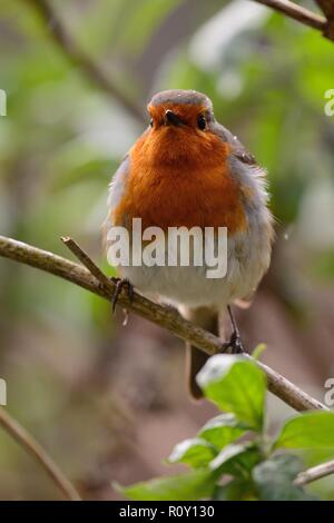 Portrait of a European robin (erithacus rubecula)perching on a branch - Stock Photo