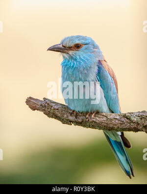 European Roller (Coracias garrulus) perching on a branch, Hortobagy National Park, Hungary - Stock Photo
