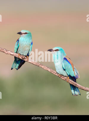European Roller pair (Coracias garrulus) perching on a branch, Hortobagy National Park, Hungary - Stock Photo