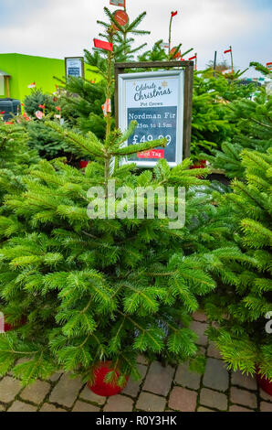 Potted Nordman or Caucasian fir trees Abies Nordmannia in a garden centre for sale at Christmas - Stock Photo