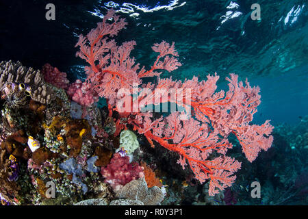 A bright red sea fan grows on a beautiful reef in Raja Ampat, Indonesia. This remote, tropical region is known as the heart of the Coral Triangle. - Stock Photo