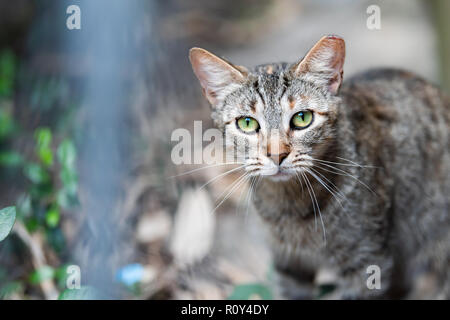 Stray tabby cat with shiny green eyes closeup on sidewalk streets in New Orleans, Louisiana hungry - Stock Photo