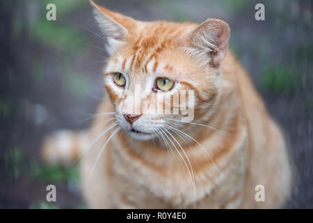Stray tabby orange ginger cat with sad yellow green eyes closeup on sidewalk streets in New Orleans, Louisiana hungry - Stock Photo