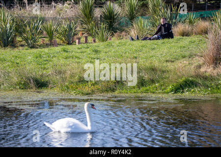 A young swan or cygnet on a lake in Canterbury is watched by a man taking a rest on the bank, New Zealand - Stock Photo