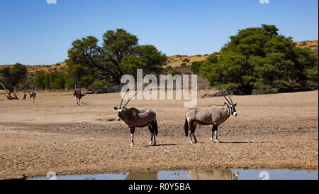 Back to back, two oryx guard the area from a water hole in the savanna of Namibia, Africa. In the background are African ostriches. - Stock Photo
