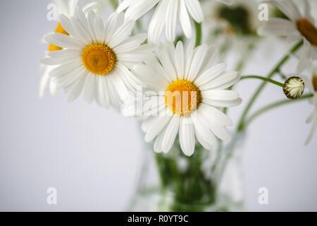 daisies summer white flower on white background - Stock Photo