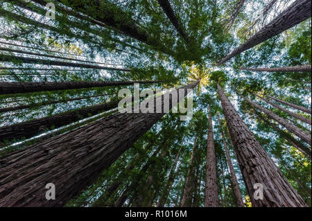 Skyward perspective of the mighty Sequoia or Redwood forest at East Warburton in Victoria's Warburton Valley. - Stock Photo