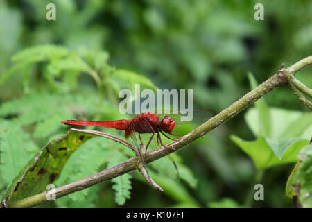 Scarlet skimmer or Crimson darter , Red Dragonfly on a branch with natural green background - Stock Photo