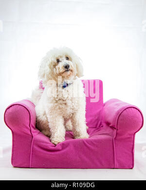 Cute white fluffy dog sitting in pink chair with white background - Stock Photo
