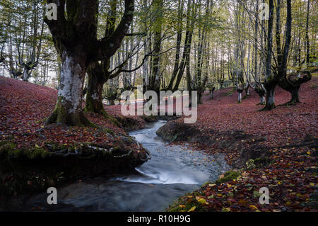 Colorful beech forest, with a nice stream passing between the big trees of the Otzarreta forest, with the ground full of fallen autumn red leaves, in  - Stock Photo